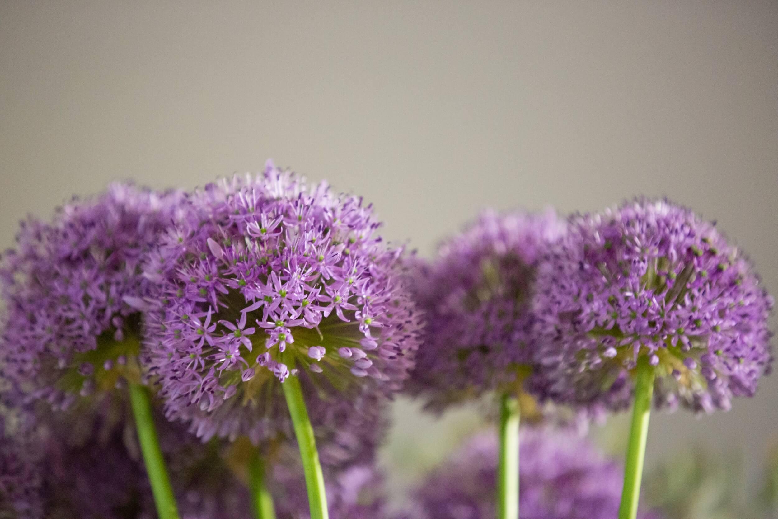 Allium Blueten 1