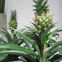 Ananas Fuers Zimmer
